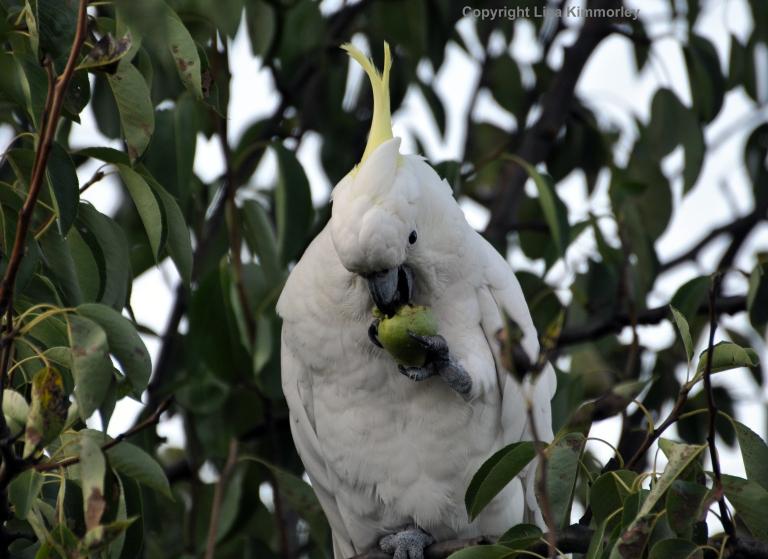Unripe pears