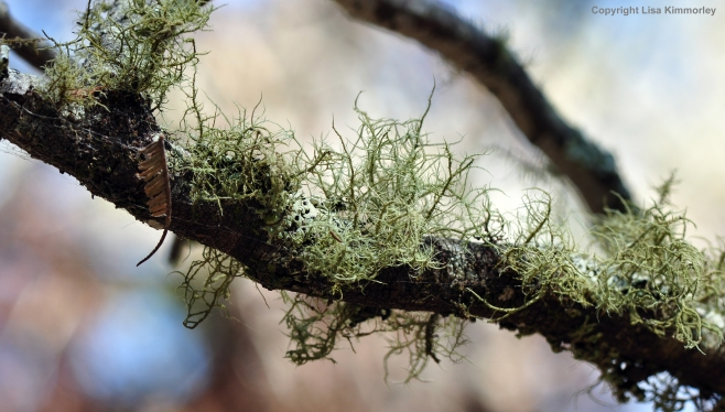 Furry lichen