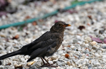 Young Thrush enjoys!