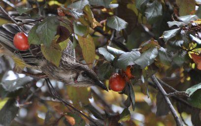 wattle bird 2
