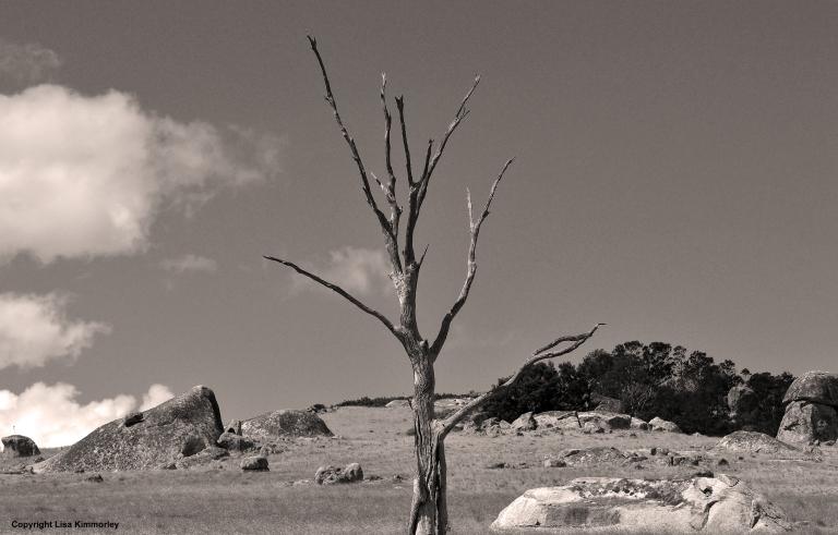 Dead tree b&w