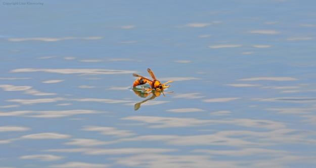 Wasp on dam