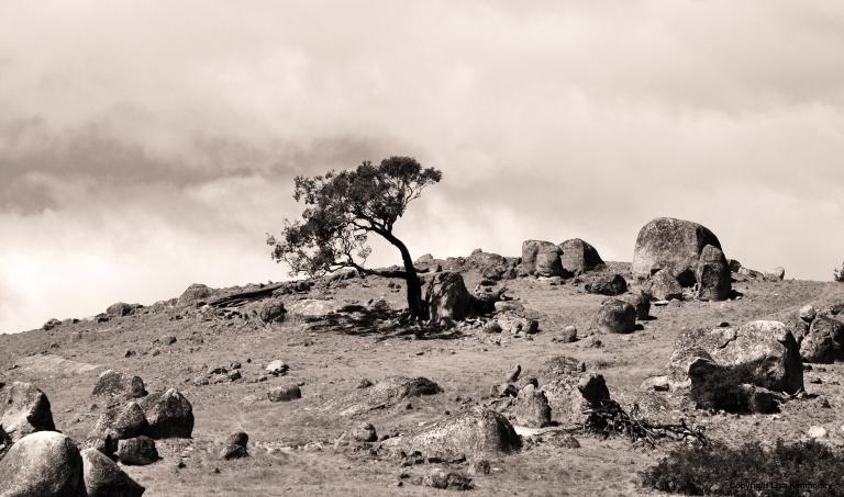 Wind tree B&w