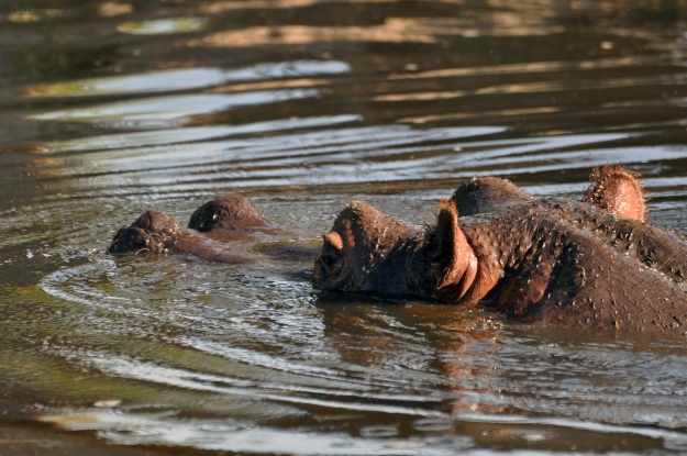 Hippo 5