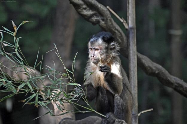 Ape 1