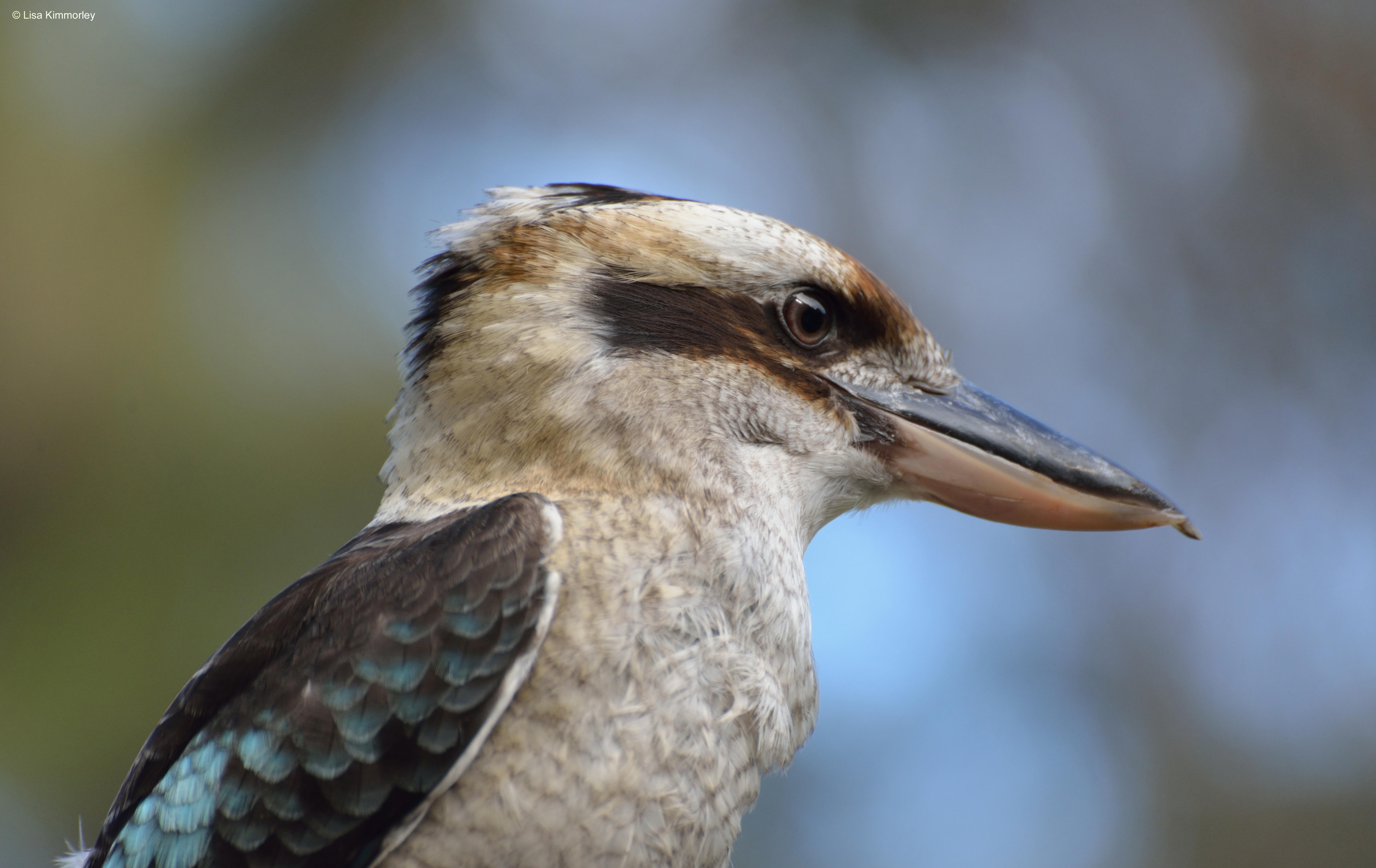 Kangaroo Island Birds