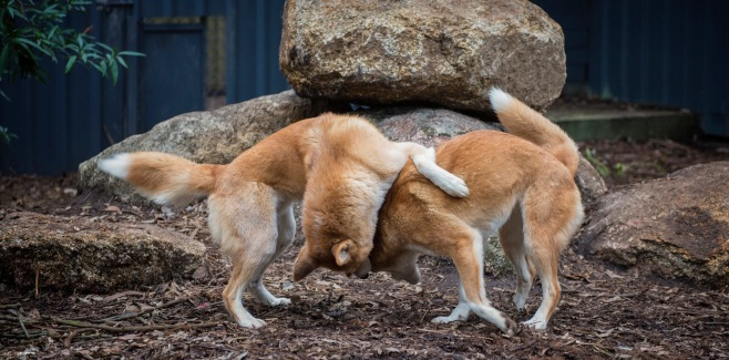 Dingoes 1