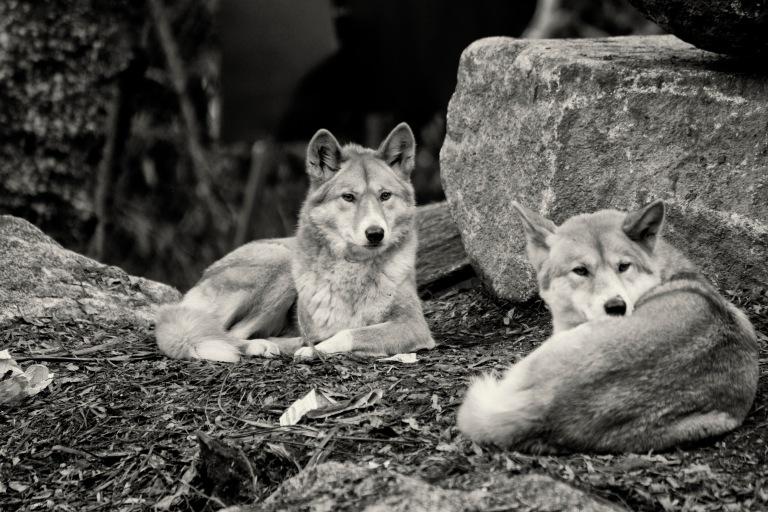 Dingoes 2