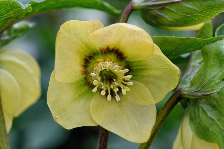 primrose yellow dark