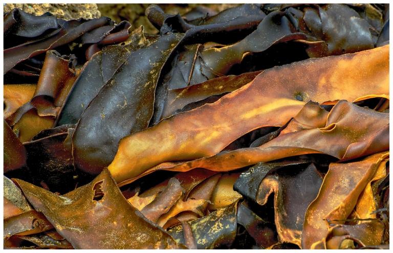 kelp ribbons