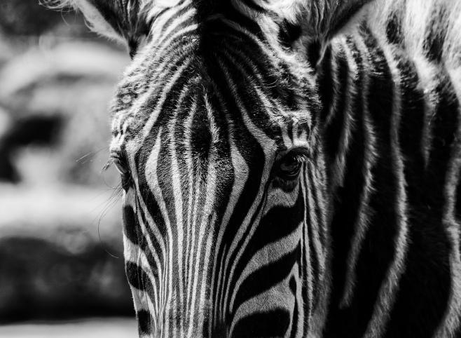 zebra a