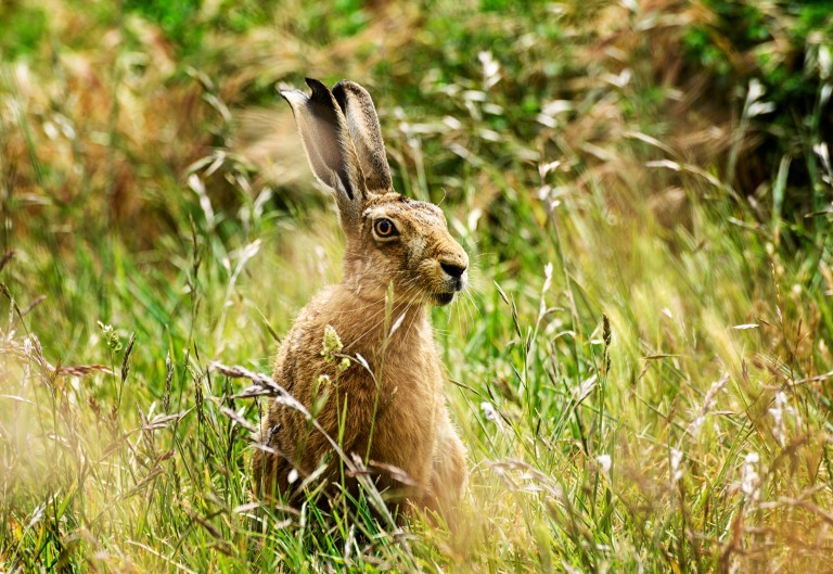 hare a