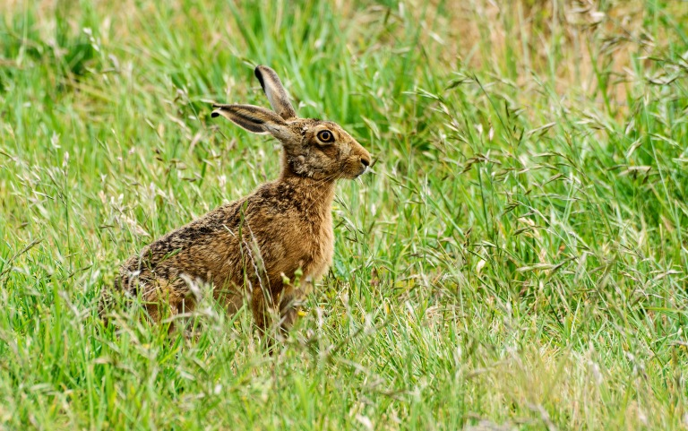 hare side