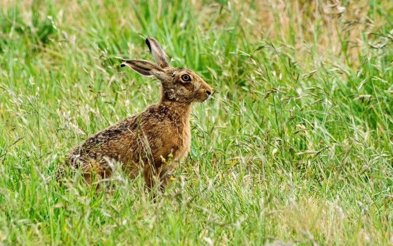 hare side