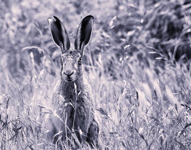 Hare B&W