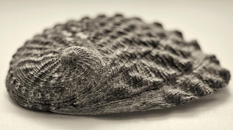 seashell macro 1