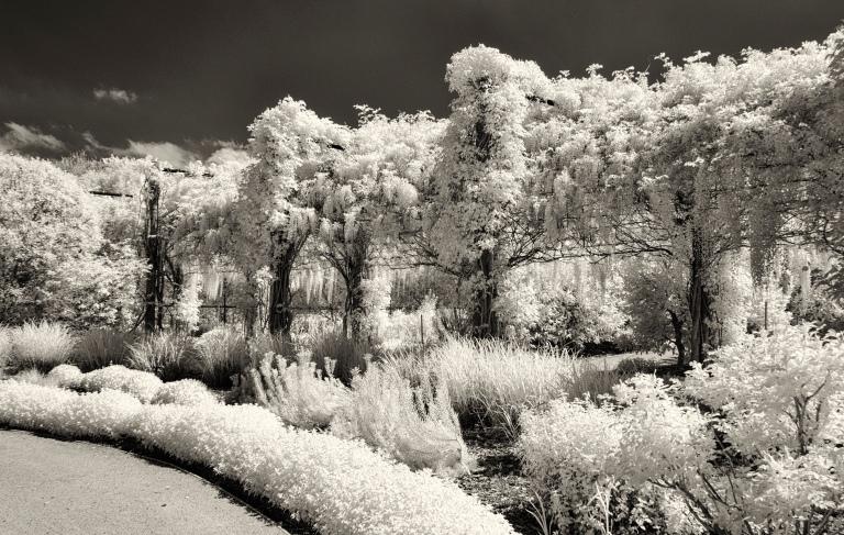 alowyn wisteria1 IR