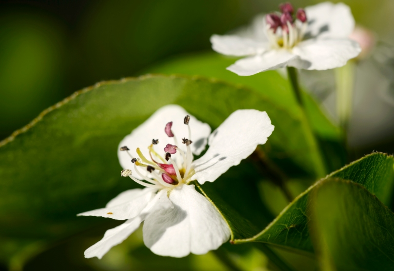 Pear blossom1