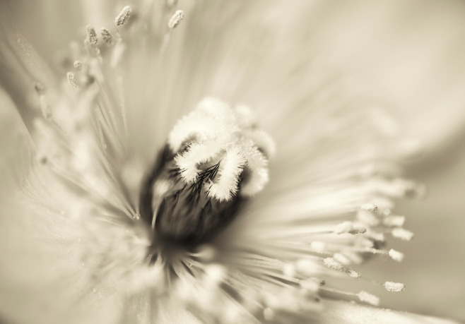 poppy flower macro
