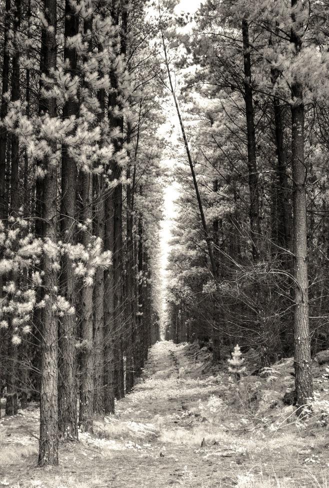 pines IR