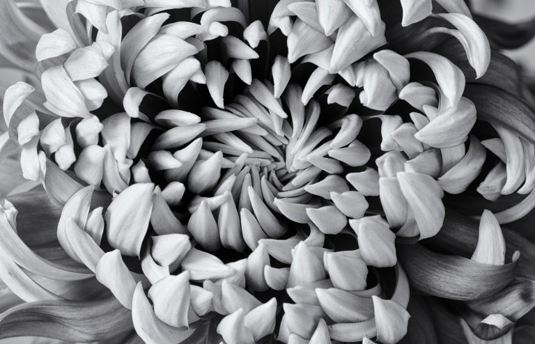 chrysanth b&w