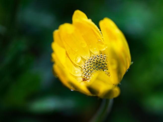 daisy rain1