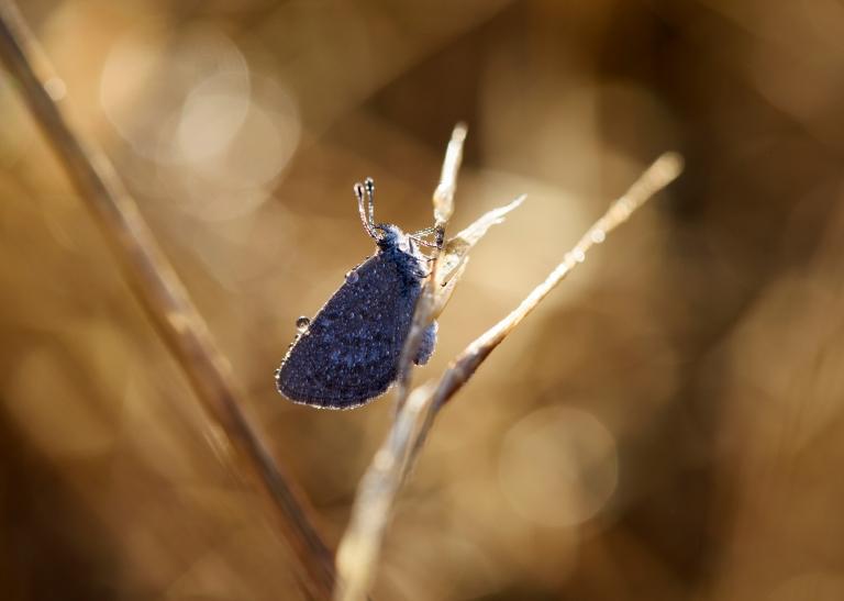 butterfly-dew